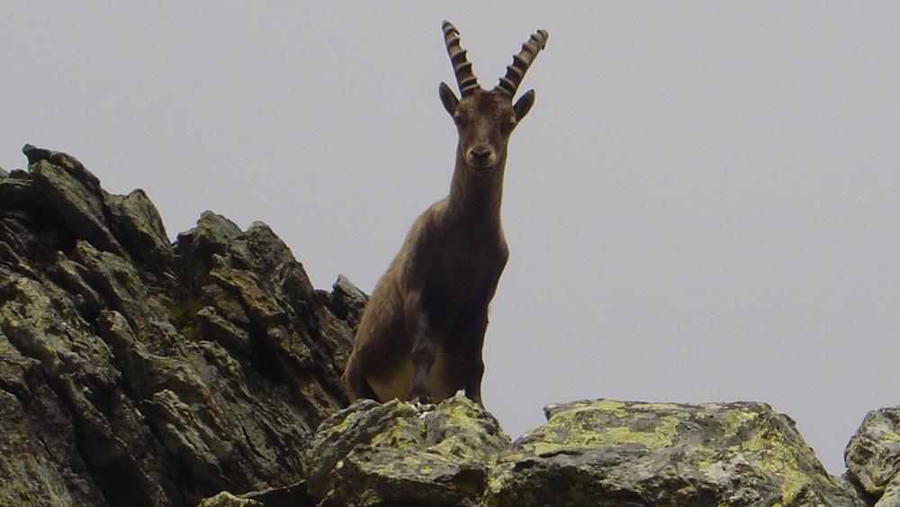 Alagna Valsesia stambecco